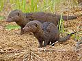 Dwarf Mongooses (Helogale parvula) (12714609753).jpg