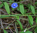 Dwarf Morning-glory (Evolvulus alsinoides) in Talakona forest, AP W2 IMG 8526.jpg
