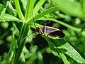 Dysdercus mimulus (Pyrrhocoridae).jpg