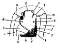EB1911-Gastropoda 6.png