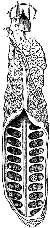 EB1911 Ichthyology - Lung of Neoceratodus.jpg