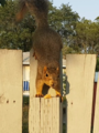 Eastern Fox Squirrel .png