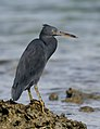 Eastern Reef Egret - grey form (42314120571).jpg