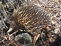 Echidna in its most favourite spot.jpg