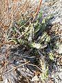 Echinocereus pentalophus (5780610474).jpg