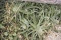 Echium italicum-3427.jpg