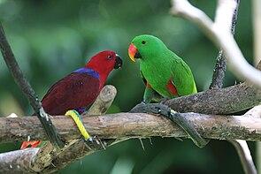 Edelpapageienpaar, rechts das Männchen