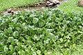 Eichhornia crassipes 78zz.jpg