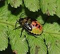 Elasmostethus interstinctus (Birch shieldbug) - final instar nymph - Flickr - S. Rae.jpg