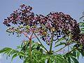 Elderberryfruit5081.JPG