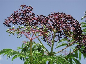 Fruit wine - Elderberries, a common fruit wine ingredient.