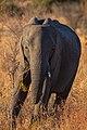 Elefante africano de sabana (Loxodonta africana), parque nacional Kruger, Sudáfrica, 2018-07-25, DD 08.jpg