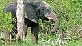 Elephant (Loxodonta africana) (6016781307).jpg