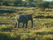 Elephant of Namibia.jpg