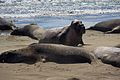 Elephant seals, Piedras Blancas 15.jpg