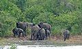 Elephants (Loxodonta africana) (6021983971).jpg
