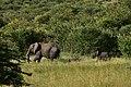 Elephants in the Serengeti (11) (28610547375).jpg