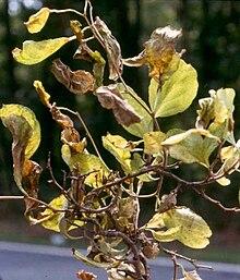 list of elm diseases wikipedia