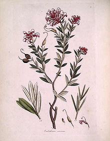 Colour drawing of a plant with small, almond-shaped leaves and a cluster of thin, curled, pink petals