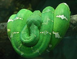 Emerald Tree Boa Wrapped on a Branch 2480px.jpg