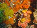 Encrusting sponges at Island RockDSC04778.JPG