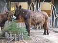 Endangered 'Poitou Donkey'.JPG