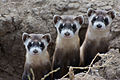 Endangered Black-Footed Ferrets - 26003376186.jpg