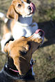 English Beagle.jpg