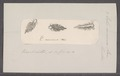 Eolis minima - - Print - Iconographia Zoologica - Special Collections University of Amsterdam - UBAINV0274 091 13 0003.tif