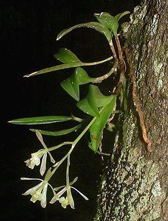 Epidendrum - Image: Epid Magnoliae 30Jun 03