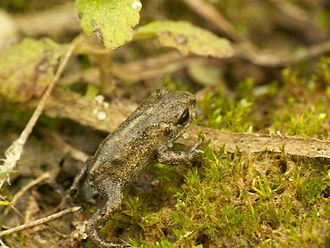 Natterjack toad - A very young natterjack