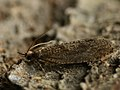 Epinotia sordidana (39459984970).jpg