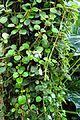 Episcia dianthiflora kz1.jpg