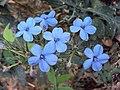 Eranthemum capense at Nedumpoil (12).jpg