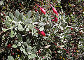 Eremophila glabra foligae and flowers.jpg