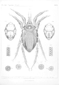 Ergebnisse der Plankton-Expedition der Humboldt-Stiftung (2Gaβ) Tafel VI.png
