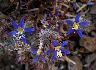 <i>Eriastrum sapphirinum</i> species of plant