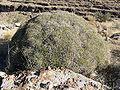 Eriogonum heermannii var sulcatum 13.jpg