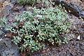 Eriogonum umbellatum 'Bear Tooth Pass' - Dunsmuir Botanical Gardens - DSC02921.JPG