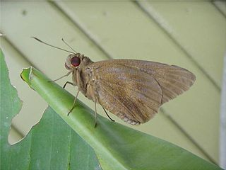 <i>Erionota thrax</i> species of insect
