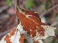 Eriophyidae - Aceria ilicis (6384696465).jpg
