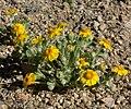 Eriophyllum wallacei 8.jpg