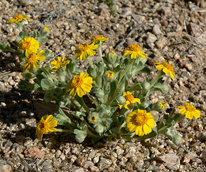Description de l'image Eriophyllum wallacei 8.jpg.