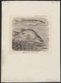 Esox lucius - 1700-1880 - Print - Iconographia Zoologica - Special Collections University of Amsterdam - UBA01 IZ14800089.tif