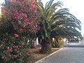 Estoril, oleander and palm - panoramio.jpg