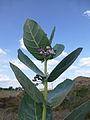 Ethiopie-Calotropis procera (2).jpg
