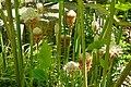 Etlingera elatior 'White Torch' - Naples Botanical Garden - Naples, Florida - DSC09814.jpg