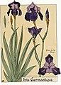 Etude de la plante - p.39 fig.36 - Iris d'Allemagne.jpg
