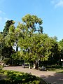 Eucaliptus - arbre d'interès local - parc de Vil·la Amèlia P1280082.jpg