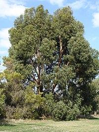 Eucalyptus cordata